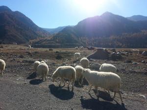 Алтай, овцы, горы